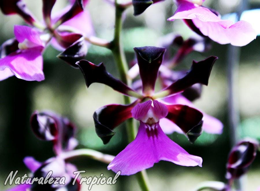 Flor de la orquídea Encyclia cordigera