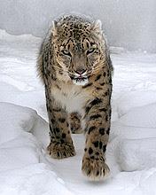 Tigar na snijegu download besplatne pozadine slike za mobitele
