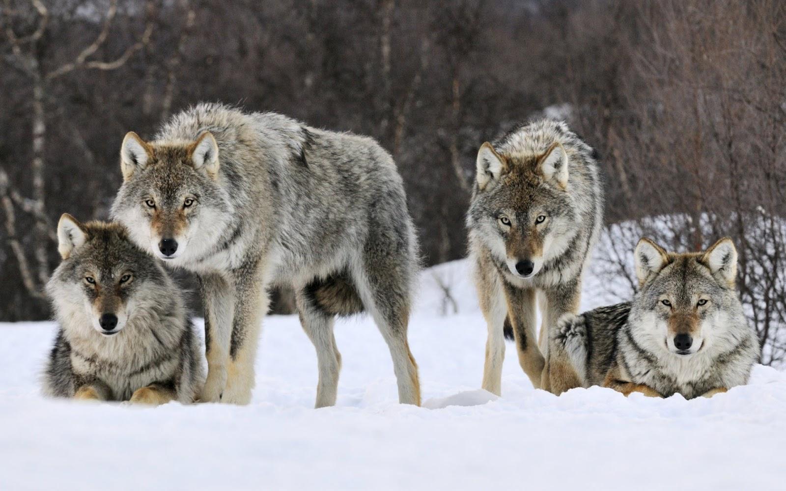 Browniecheesecake: Wolves; Vicious Predators Or Normal
