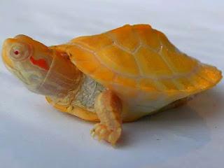 merawat-kura-kura-baru-menetas.jpg