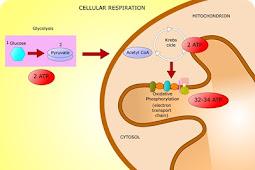Penjelasan Mengenai Biosintesis ATP