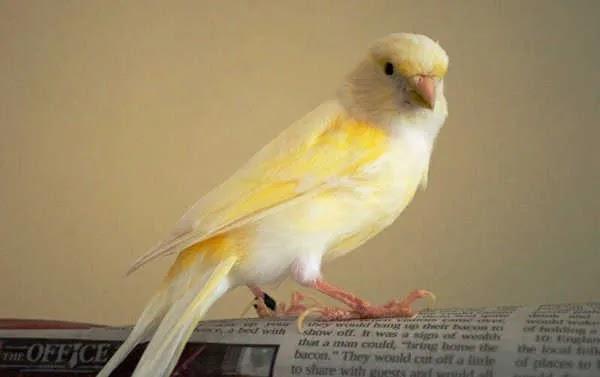 Perbedaan Burung Kenari Jantan dan Betina Dewasa