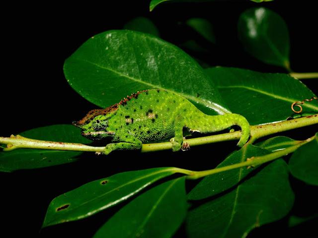 Chamäleons Madagaskar