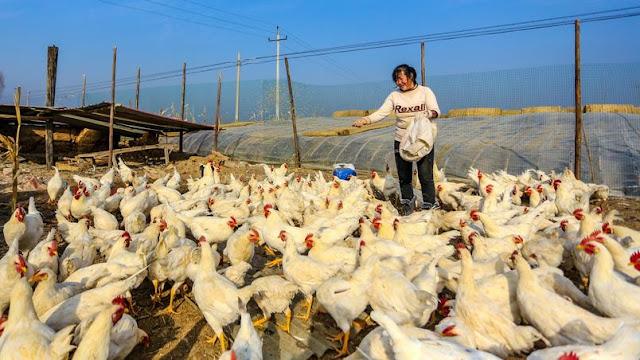 China confirma primeiro contágio humano de cepa da gripe aviária