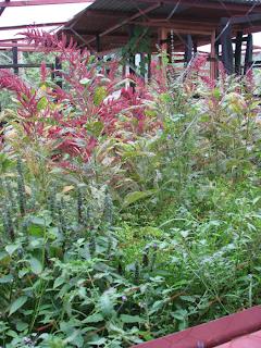chicken paddock vegetation