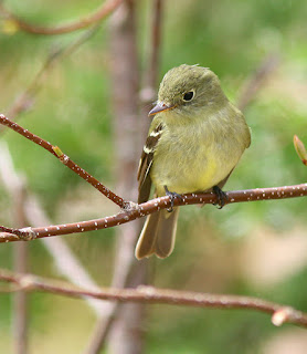Yellow-bellied Flycatcher, yellow bellow and eye ring