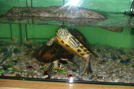 tortugas-orejas-amarillas-trachemys-scripta-cuidados