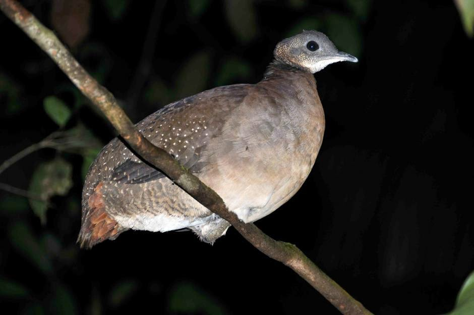 White throated Tinamou