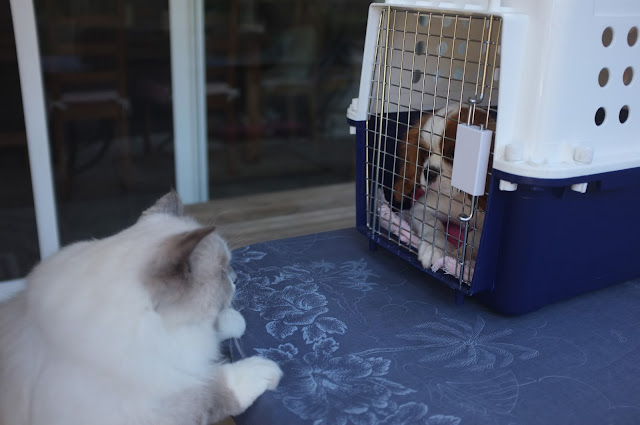 the cat looks across at the puppy looking back out of the crate