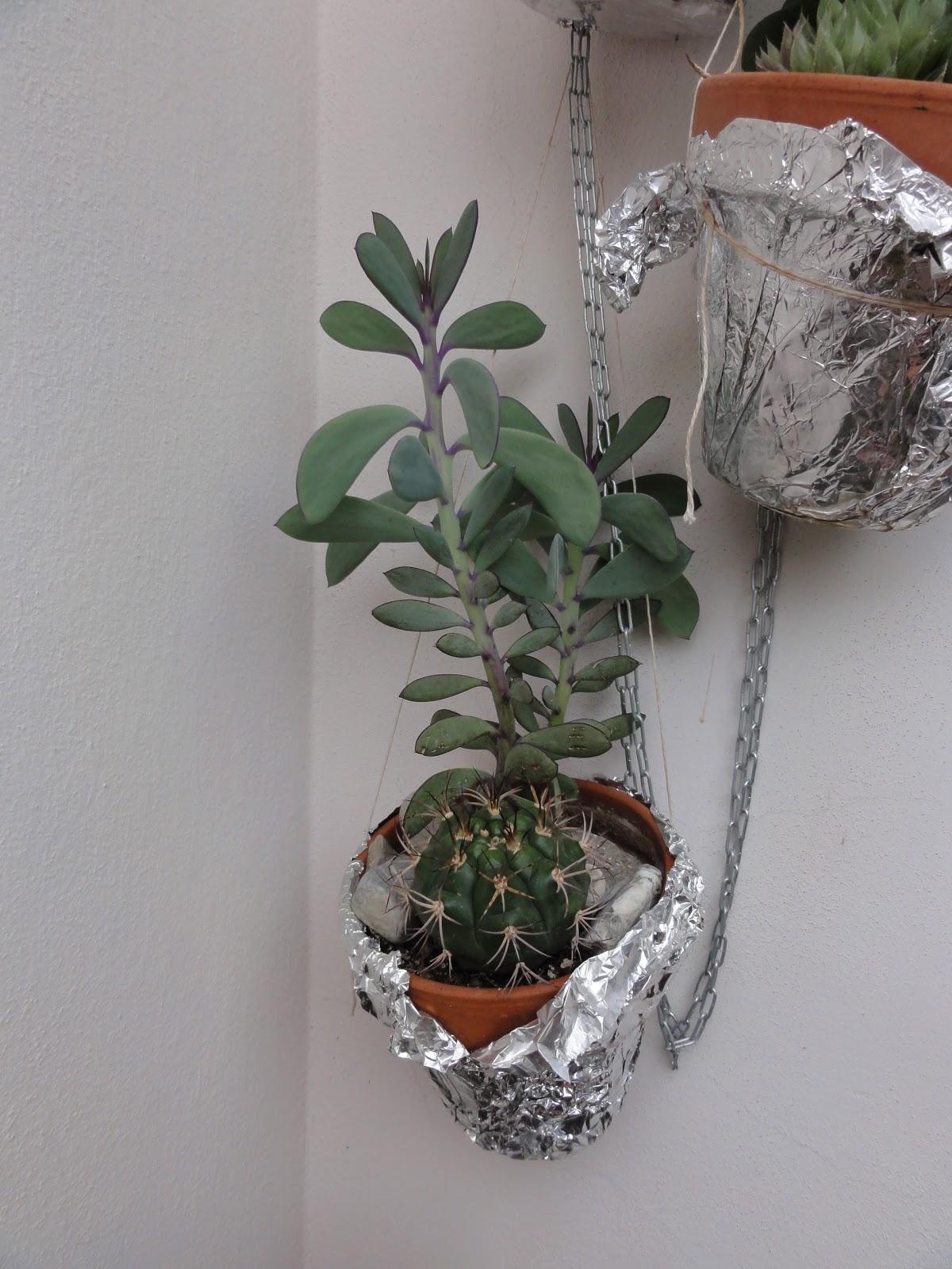 Rampicanti Adatti In Vaso aria di montagna: piante grasse nel balcone