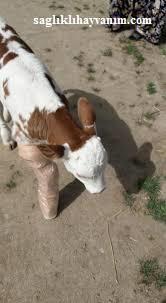 Ayağı kırılan hayvana ne yapılır