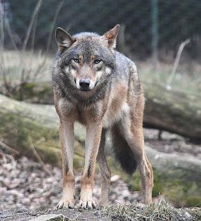 Wolf Depredation