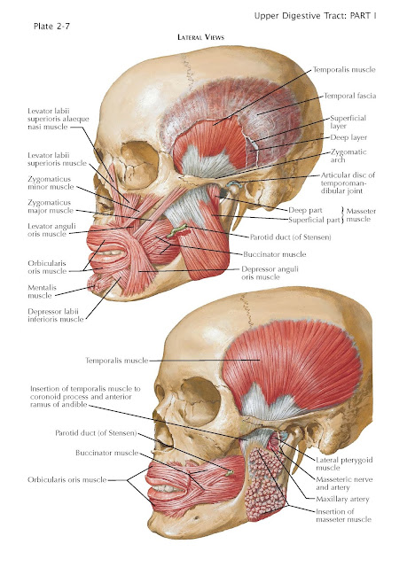 Muscles Involved in Mastication, superficial part, deep portion, temporal fascia,  temporalis muscle, lateral pterygoid muscle, medial pterygoid muscle, orbicularis oris muscle
