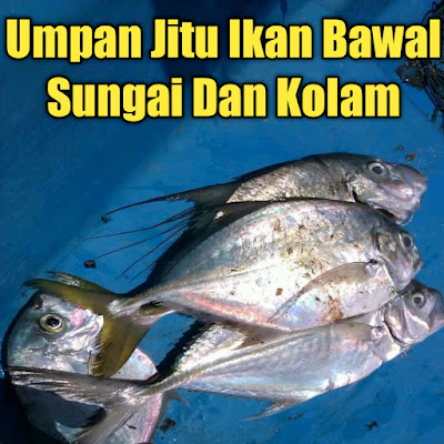 mancing ikan bawal strike terus tanpa henti mengunakan umpan jitu
