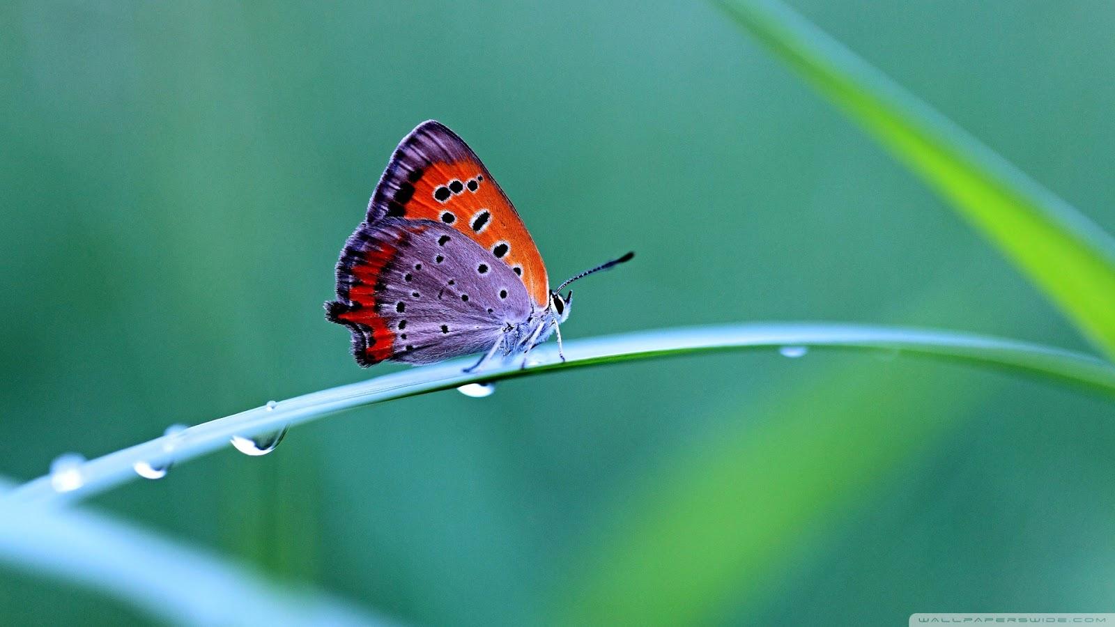 Butterfly Hd Wallpaper Beautiful Butterfly Wallpaper Best