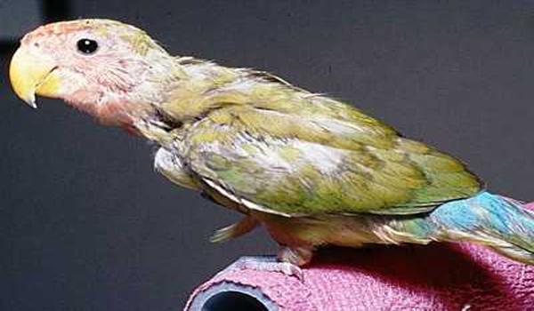 lovebird mencabut bulu