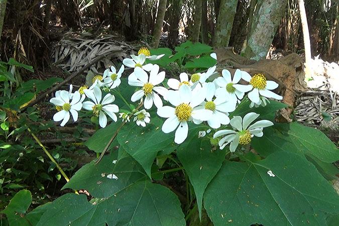 Dlium Anzac flower (Montanoa hibiscifolia)