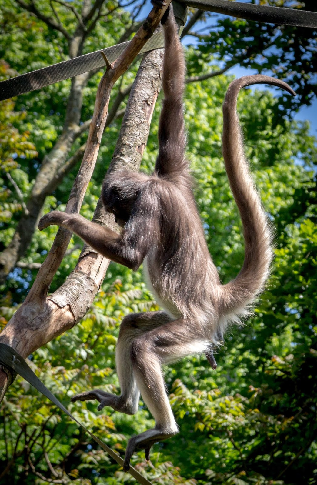 Picture of a spider monkey at a zoo.
