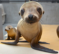 Curious seal pup at the Marine Mammal Center in CA.