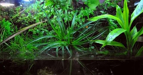 plantas para un acuario dulce