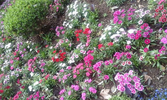 A foto mostra as flores multicores da primavera. Elas tem vigor intenso é a vida que renasce.