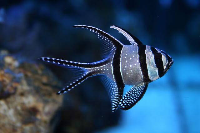 Cara Memelihara Cardinalfish (Capungan Ambon)