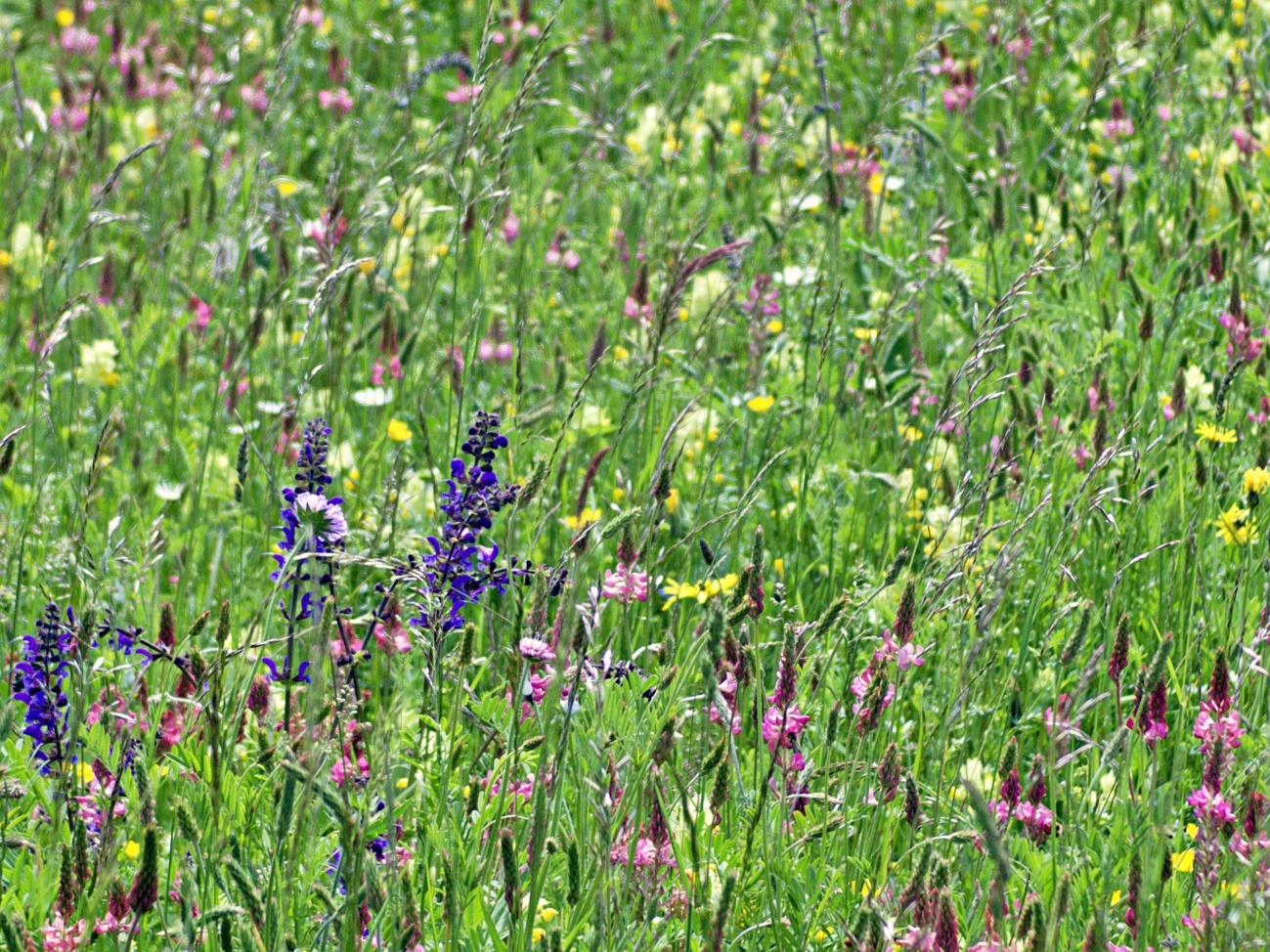 Zum Tagesabschluss — Bilder der Woche #75 (KW22/ 2021) – Blumenwiesen
