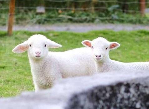 koleksi domba di cimory