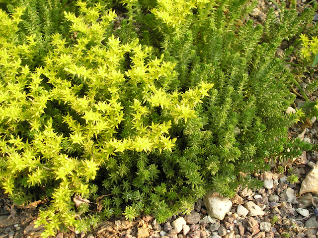 Sedum_acre_plant_and_flowers.png