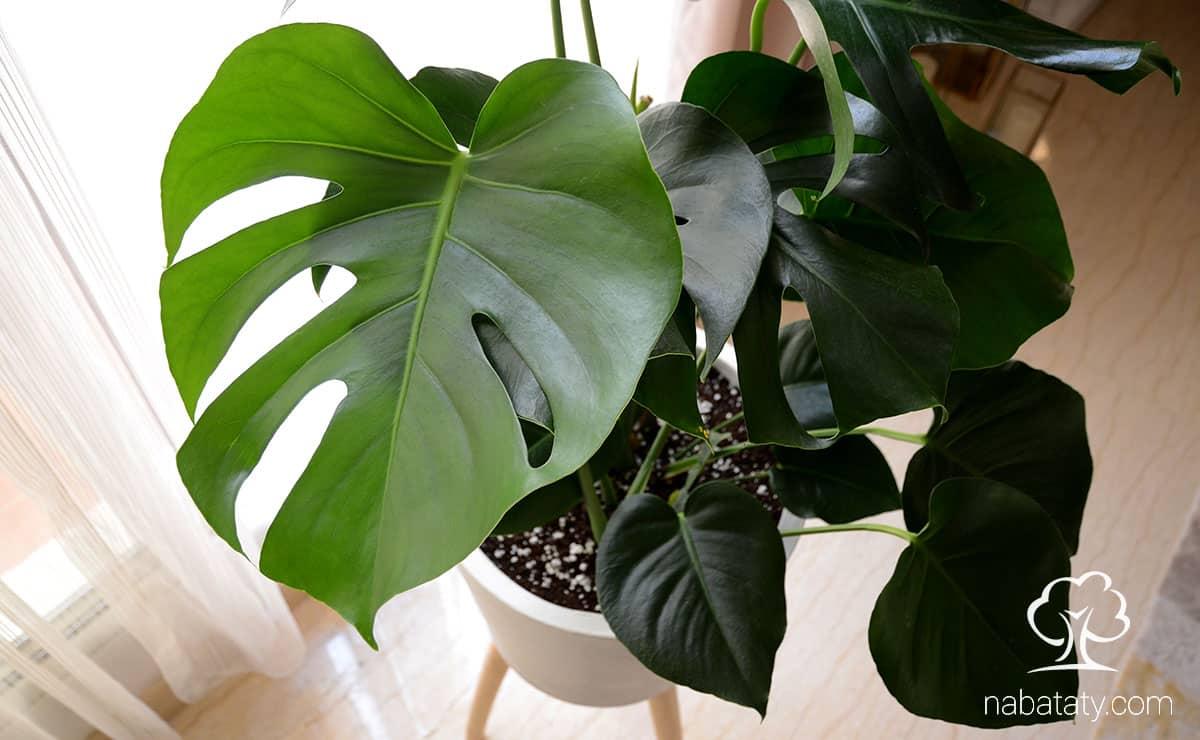 نبتة القفص الصدري من أجمل النبتات المنزلية والأعتناء بها سهل جداً