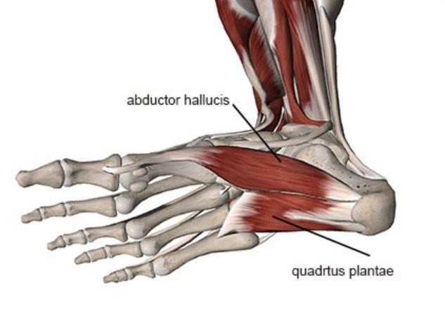 Il tendine tibiale posteriore comincia a stressarsi solo dopo che le  strutture suddette hanno fallito e questo porta alla tendinopatia (Nick  Campitelli c6b4a36843c