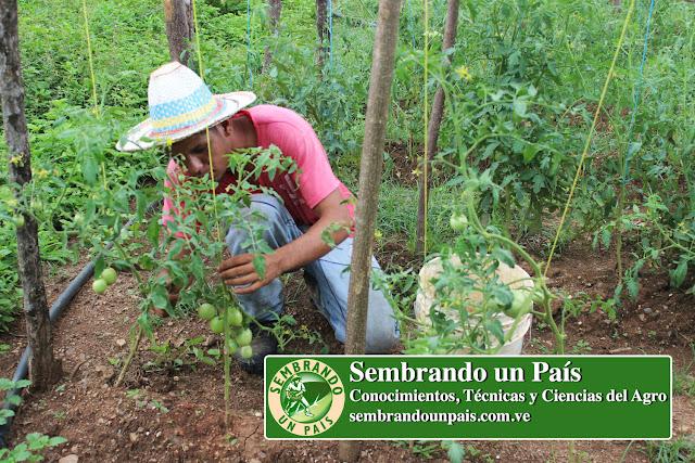 podando plantas de tomates
