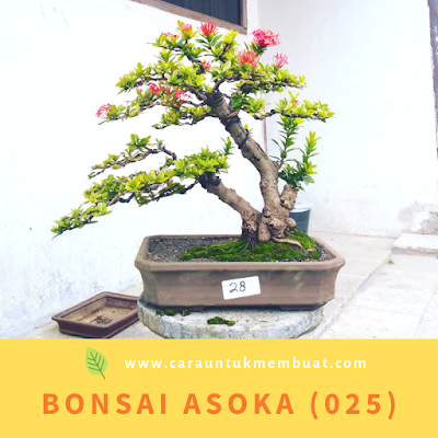 Bonsai Asoka (025)