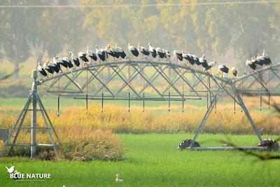 Bando de cigüeña blanca (Ciconia ciconia) colocado de forma curiosa sobre uno de los riegos.