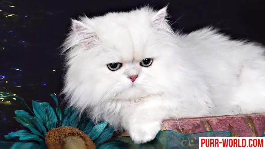 قط الشيرازي