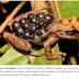 Estudo amplia de 39 para 74 os modos de reprodução conhecidos dos anfíbios e cria nova classificação