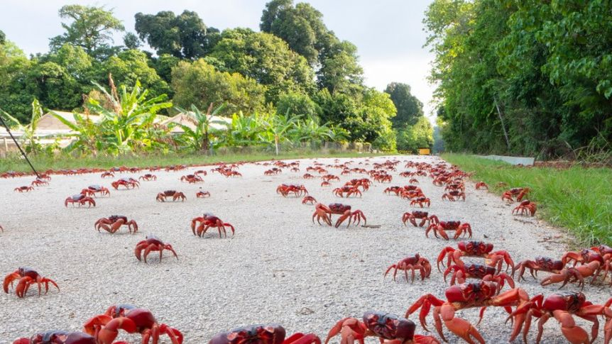 Walk the red crab carpet, posted on Saturday, 30 January 2021