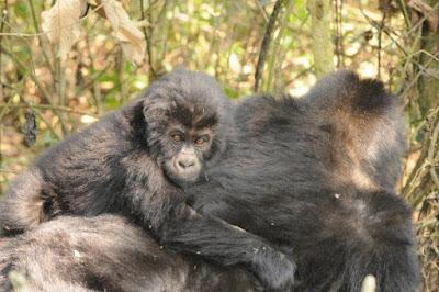 Shocking collapse of gorilla subspecies