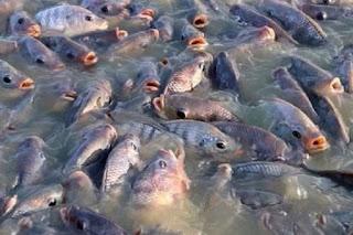 Info Supplier Jual Ikan Nila Bibit dan Konsumsi Ambon, Maluku