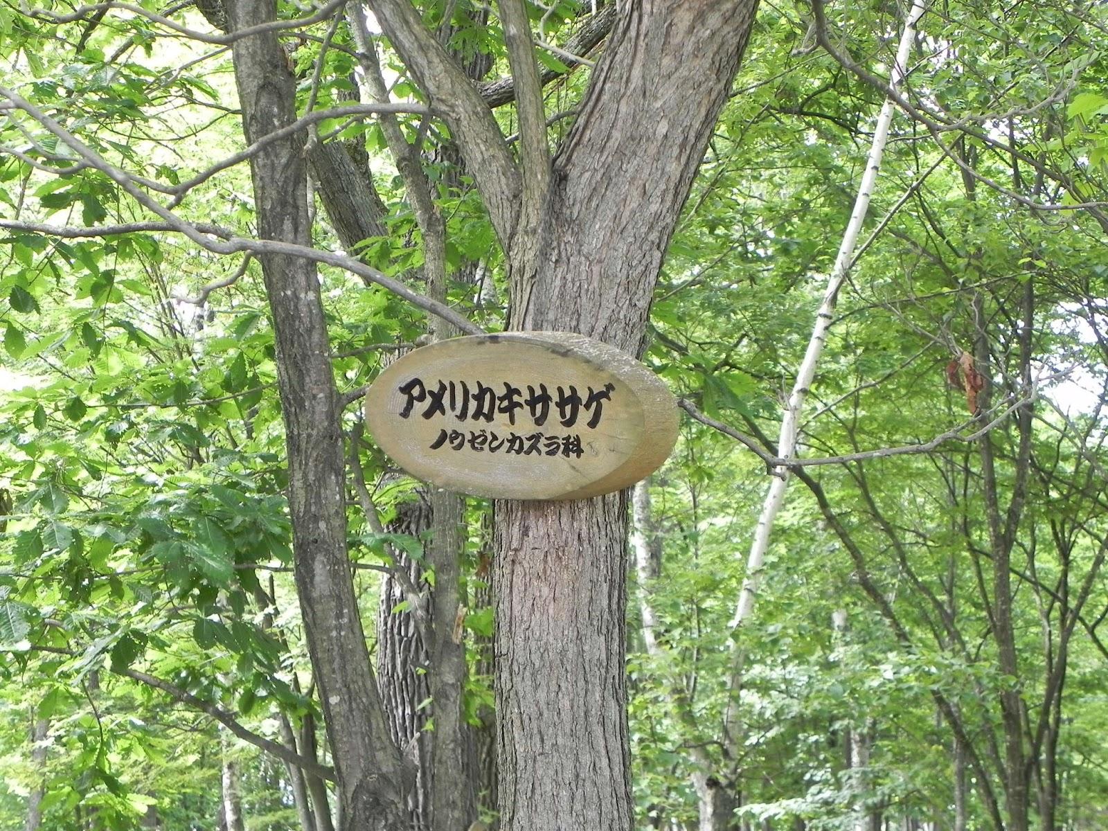 コドモリ.com: アメリカキササゲ 葉・つぼみ/神楽岡公園 2015.6.29