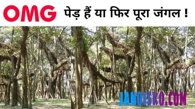 'द ग्रेट बनियन ट्री' । The Great Banyan Tree