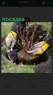 осуществляется посадка саженца в сделанную ямку в земле