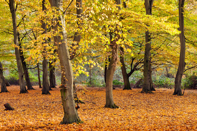 Reds and yellows of autumn in the Hinchingbrooke Country Park woodland