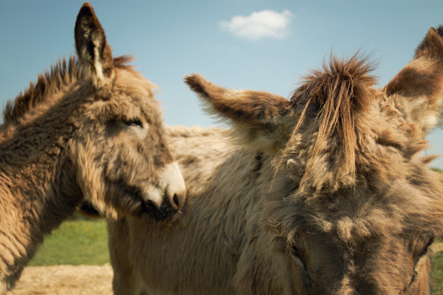 donkey tuft by Tarnie from flickr (CC-NC-ND)