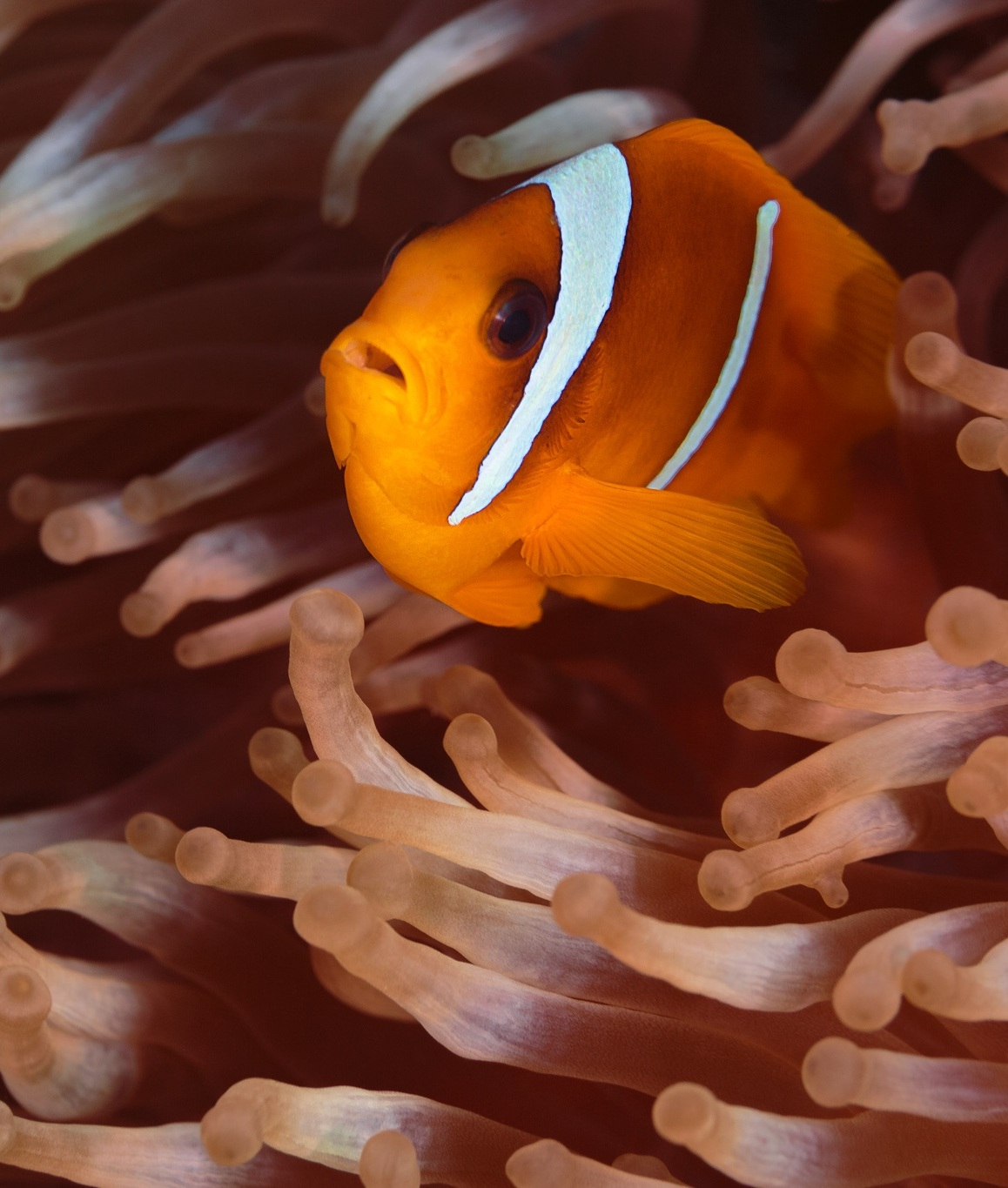 A clownfish hiding inside poisonous anemone.