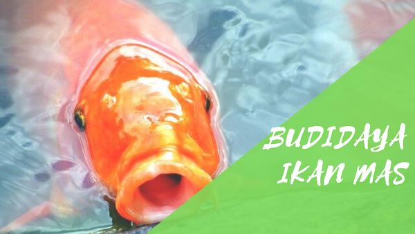 Peluang Usaha Budidaya Ikan Mas yang Menguntungkan