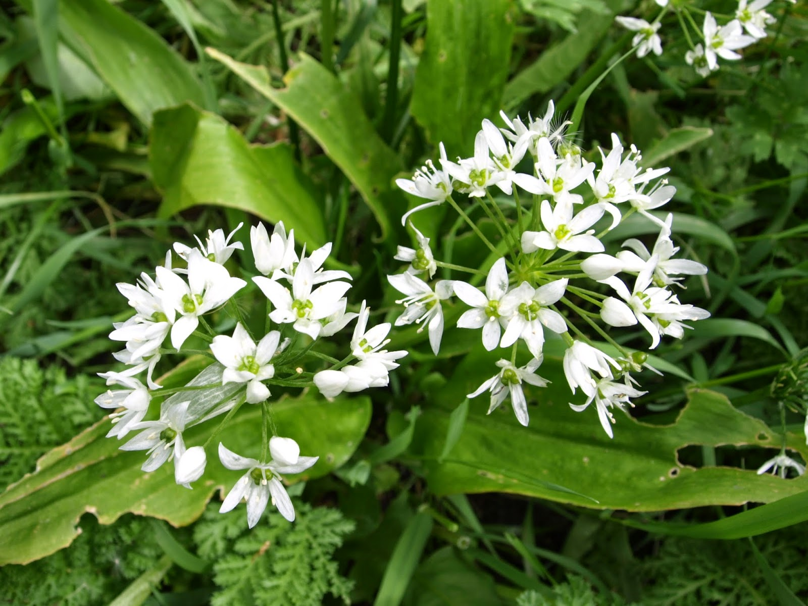 An image of the delicate white star shaped flowers of the wild garlic plant.