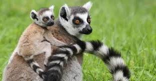 موسم تزاوج ليمور إفريقيا مدغشقر مهدد بالإنقراض