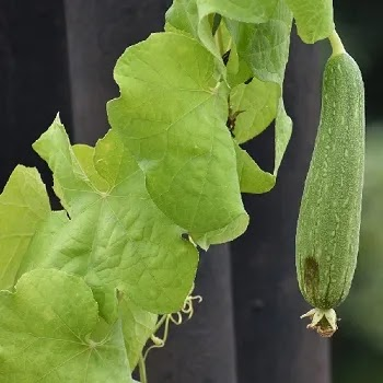 दोडका, ridge gourd vegetables name in Marathi