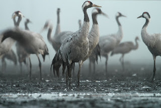 About Sarus crane. सारस पक्षी।
